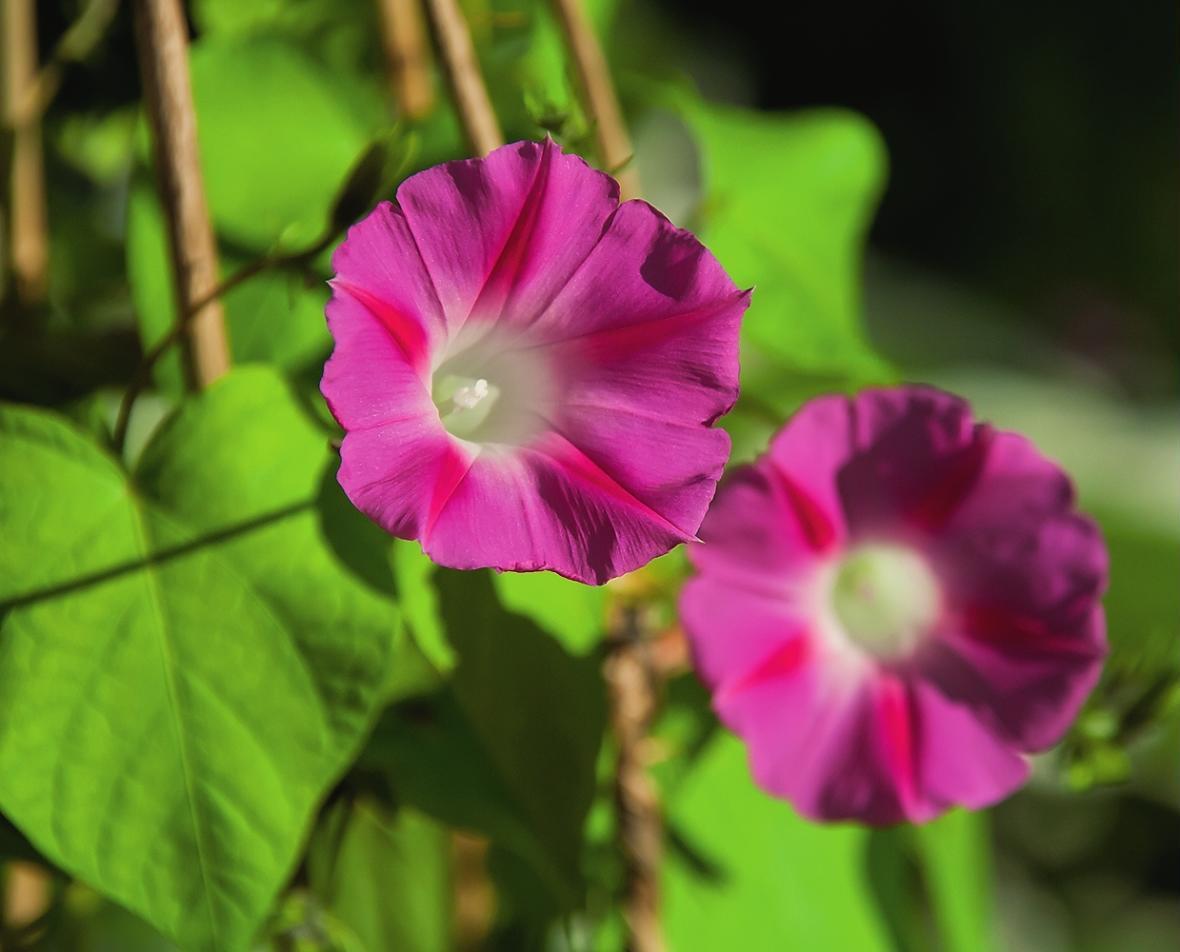 Квітки іпомеї пурпурової нагадують витончені тонкі воронки - лілові, рожеві, блакитні, сині, білі або червоні з білим горлом.