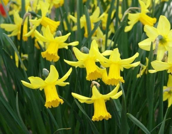 Нарцис цікламеновідний February Gold