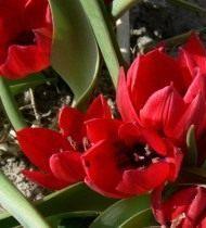 Тюльпан карликовый