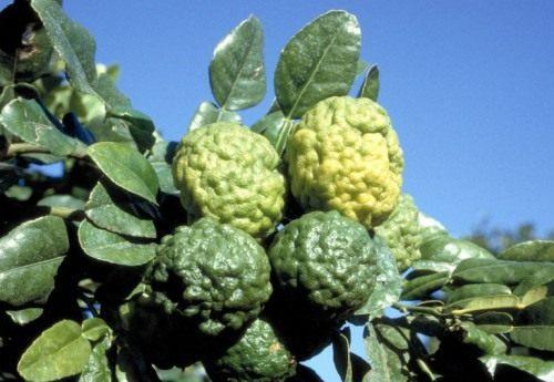 Кафир лайм (Kaffir lime)