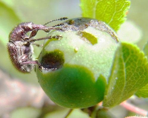 Вишнёвый долгоносик на плоде тёрна