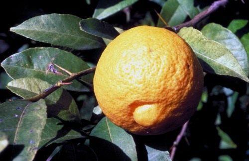 Индийский лайм (Lime douce india)