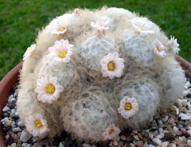 Маммиллярия перистая (Mammillaria plumosa)