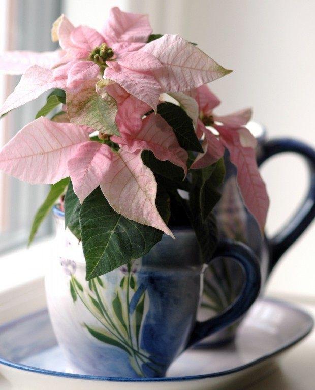 Из-за времени цветения попадающее на Рождество, а также из-за того, что прицветники образуют форму звезды, Пуансеттию называют