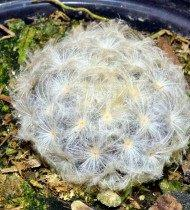 Маммиллярия превосходная (Mammillaria perbella)
