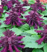 Сальвия сверкающая пурпурная