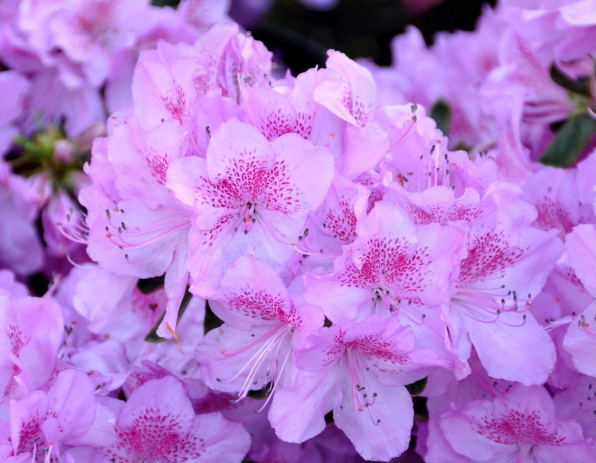 Азалія японська (Azalea japonica) Ledikanense