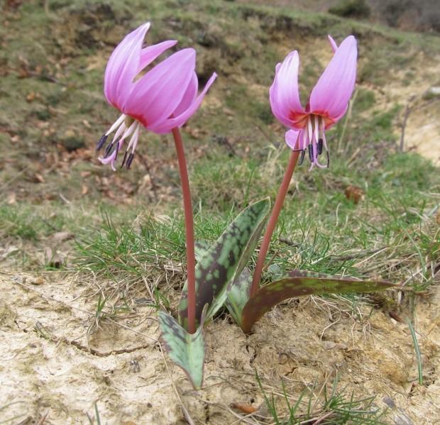 Кандык европейский (Erythronium dens-canis)