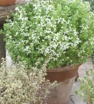 Базилик Шалун, выращиваемый в горшке