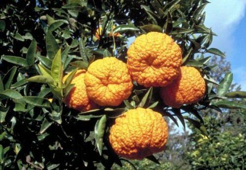 Мандарин королівський (Mandarin orange)