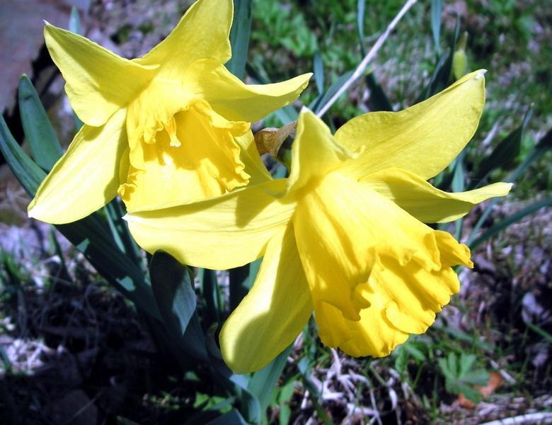 Нарцис жовтий трубчастий