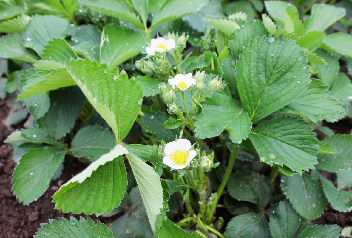 квітуча полуниця