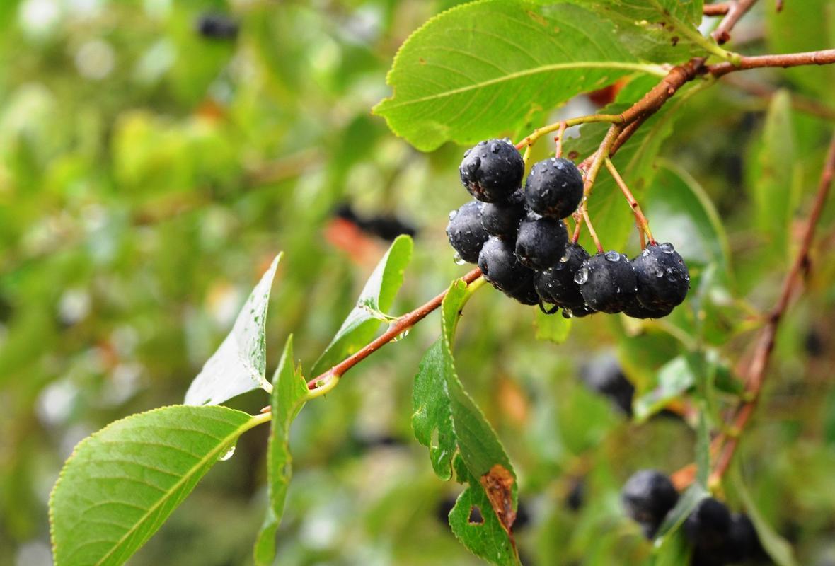 Чорноплідна горобина, або аронія, - цілюща ягода