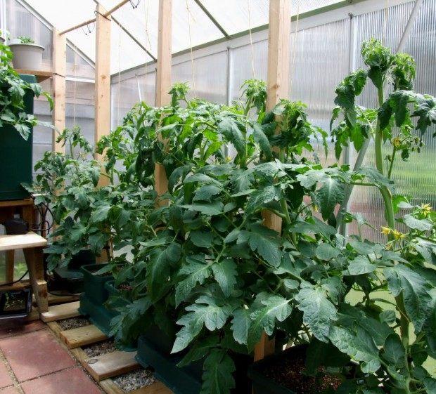 Вирощування томатів у теплиці.