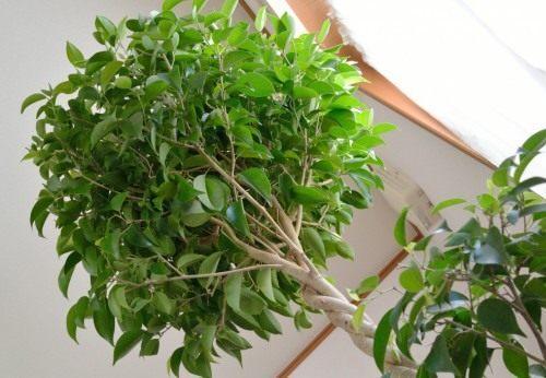 Фикус бенджамин (лат. Ficus benjamina)