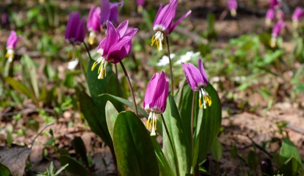 Кандык сибирский (Erythronium sibiricum)