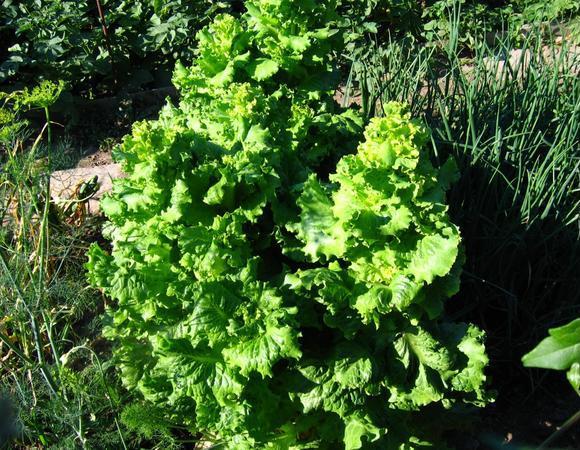 Однорічний салат посівної