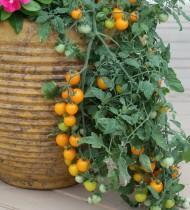 Томат Золотая гроздь от Агрофирмы Поиск