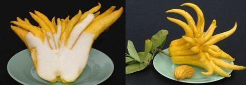 Цитрон пальцы Будды (Buddha