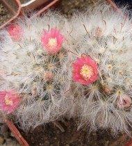 Маммиллярия бокасанская (бокасана) (Mammillaria bocasana)