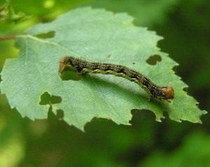 Гусеница пяденицы-обдирало, или листопадной пяденицы (Erannis defoliaria)