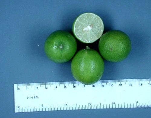 Мексиканский лайм (Mamoncillo)