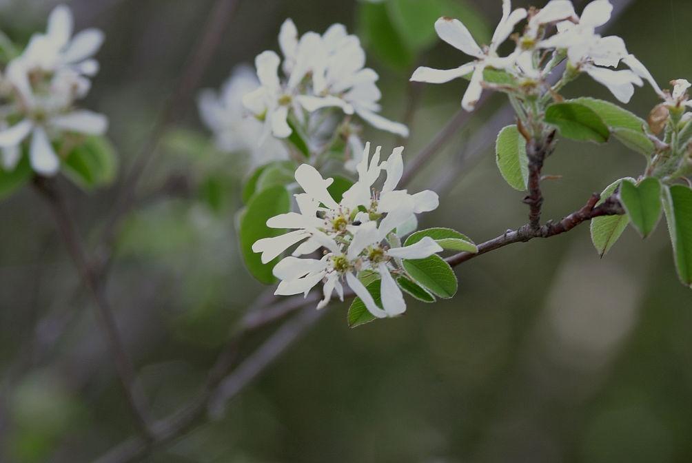 Квіти ірги круглолістной