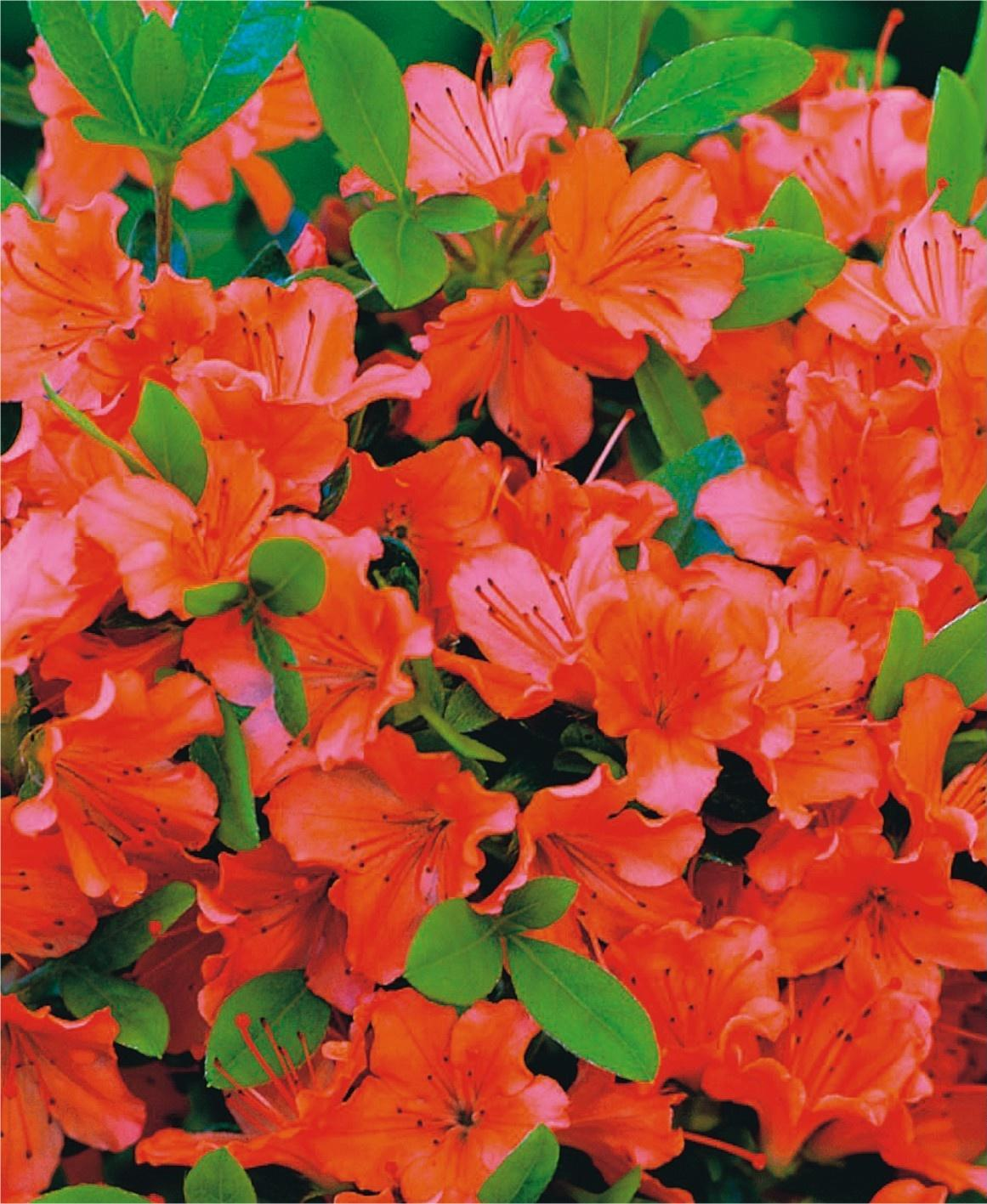 Азалія японська (Azalea japonica) Geisha Orange