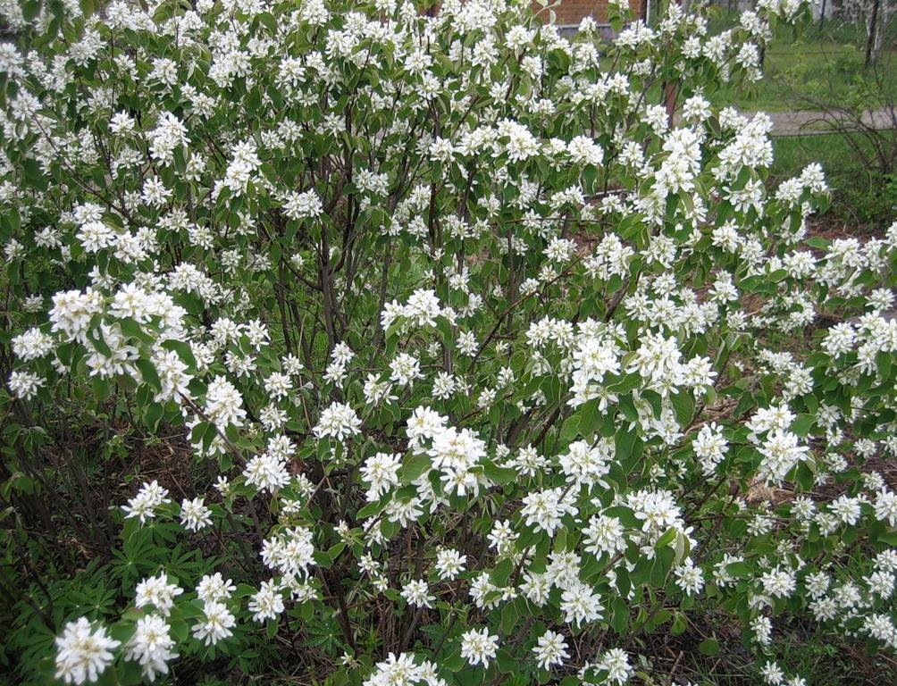 Ірга колосиста в цвету